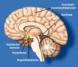 587.plaatsing_hypofyse